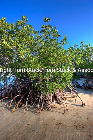 Red Mangrove, Biscayne National Park, Florida