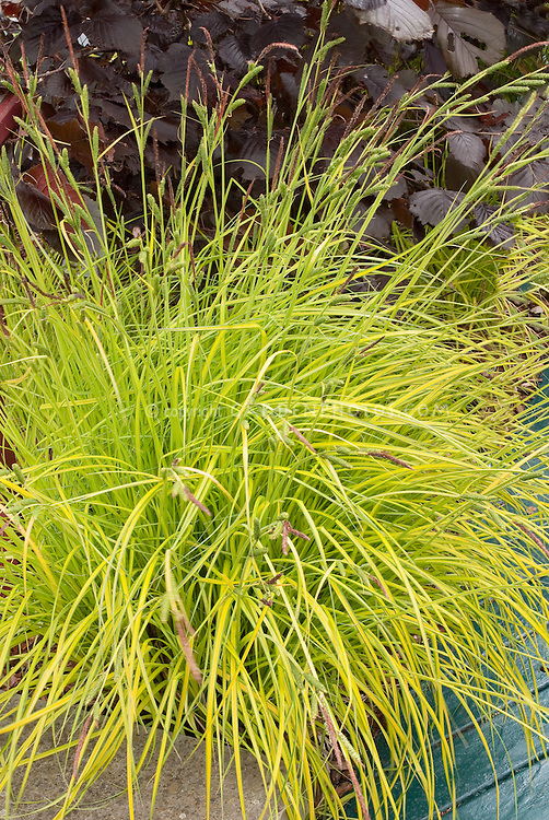 Carex elata aurea gold foliage plant flower stock for Ornamental grass with yellow flowers