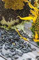 Sonnenblumen-Kerne, Sonnenblume, Gewöhnliche Sonnenblume, Kerne, Sonnenblumen, Sonnenblumenkerne, Samen, Helianthus annuus, Common Sunflower, Sunflower, seed, sunflower seed