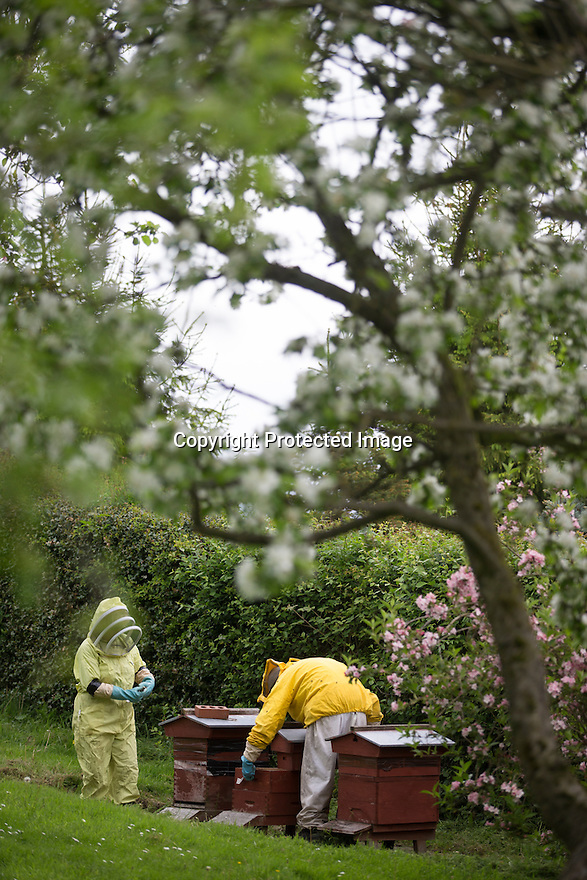 "27/05/16<br /> <br /> Thanks to an abundance of late-flowering blossoms in bee-keeper Gloria Havenhand's orchard, it's looking like this year could be the best ever for production for the UK's only medical honey farm, set close to the Chatsworth estate on the edge of the Derbyshire Peak District.<br /> <br /> There is a definite buzz of excitement as 72-year-old Gloria and her son Giles check the honey production in one of the several hundred hives she farms in Derbyshire and the Scottish highlands.<br /> <br /> Throughout the year, the bees collect pollen and nectar from more than 240 different varieties of flowering plants and hedgerows on the farms, with several acres of wild flower meadows nearby, which have been designated as Sites of Special Scientific Interest (SSSI).<br /> <br /> ""It's a bit like Fortnum and Masons for bees round here,"" Gloria explained. <br /> <br /> ""The bees start the season early, usually in February, with snowdrops and crocus, before moving on to the dandelions and wild flowers such as borage and phacelia.<br /> <br /> ""Right now it's all about the orchard blossoms, and there's plenty of different ones for them to chose from, hawthorn, plum, cherry, damsons and crab apples to mention just a few.<br /> <br /> ""And later on in the year they'll move onto enjoy a feast of resins from the Christmas tree farm we also run here.""<br /> <br /> Each hive is home to more than 40,000 bees and will produce around 120lb of honey a year, and it's this honey, which is carefully and slowly cold pressed from the wax honeycombs to keep the antibacterial properties intact.<br /> <br /> But it's not just honey that the bees provide. <br /> <br /> Gloria also harvests propolis, a resinous mixture that bees collect from tree buds, and pollen, which her company, MediBee, uses to create a range of medicinal supplements and creams, to treat a variety of ailments including eczema, psoriasis, hay fever and open wounds. <br /> <br /> All Rights Reserved, F Stop Press Ltd. +44 (0)1335 418365"