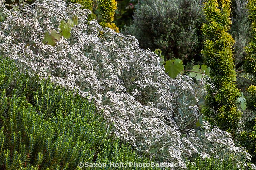 White flowering perennial Oleria x haastii on sunny bank at Elisabeth Miller Botanical Garden