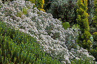 White flowering perennial Oleria x haastii on sunny bank at Elisabeth Miller Botanical Garden