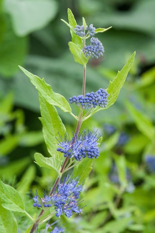 Caryopteris x clandonensis 'Worcester Gold', early September. A rounded deciduous shrub with clusters of small violet-blue flowers from late summer.