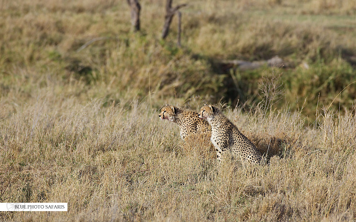 Cheetah brothers hunting