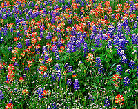 Texas Bluebonnets and Indian Paintbrush Texas
