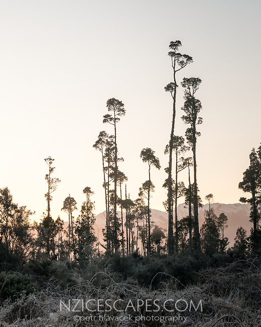 Sunrise over kahikatea trees near Lake Wahapo with winter Southern Alps in background, Westland Tai Poutini National Park, West Coast, UNESCO World Heritage Area, New Zealand, NZ