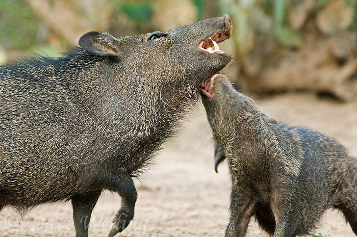 650520085 two adult wild javelinas dicotyles tajacu in mutual threat display with mouths open in the rio grande valley of south texas