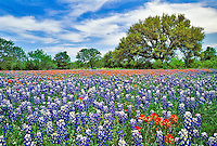 Meadow of Texas Bluebonnets and Texas Paintbrush, and Live Oak tree, Texas Hill Country, Marble Falls, Texas