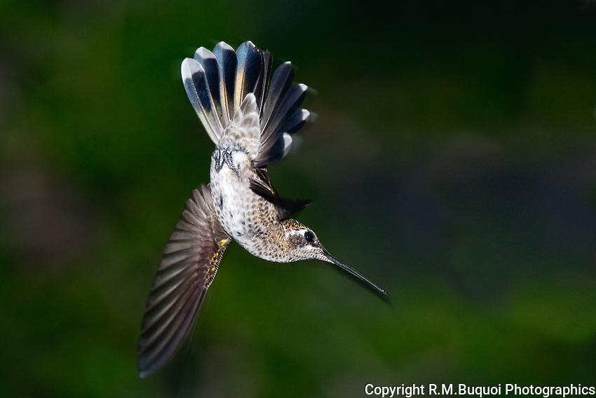 Female Magnificent Hummingbird - in flight acrobatics