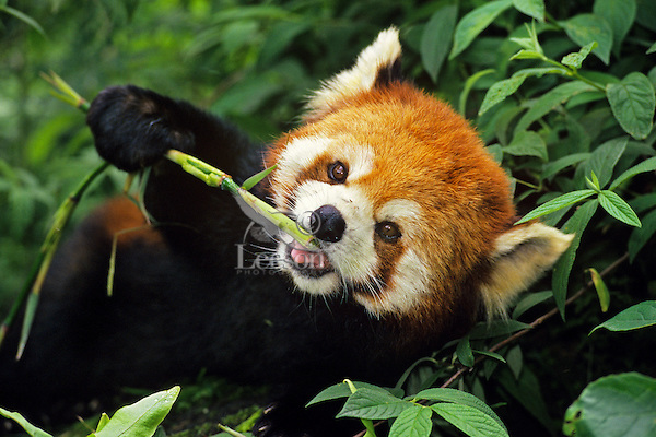 Red Panda (Ailurus fulgens) picture. | Tom & Pat Leeson