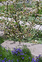 Small spring flowering tree/shrub crabapple Malus 'Excalibur' in bloom with Campanula blue flowers . Crab apple