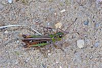 Gefleckte Keulenschrecke, Männchen, Myrmeleotettix maculatus, Gomphocerus maculatus, mottled grasshopper