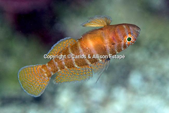 Priolepis hipoliti, Rusty goby, Florida Keys