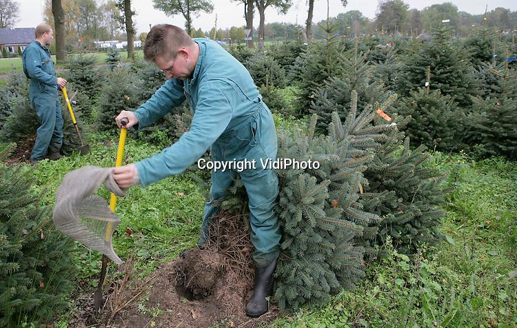 EMST - Sinterklaas is nog niet in het land, maar op een perceel in Emst is personeel van handelskwekerij De Buurte BV uit het Gelderse Oene al begonnen met het rooien van 80.000 kerstbomen. Voor 5 december moeten alle bomen geoogst zijn. De kerstbomen zijn voornamelijk bestemd voor de Nederlandse markt. Uit Duitsland haalt De Buurte nog eens 20.000 bomen om aan de vraag te kunnen voldoen. De Buurte is de grootste kerstbomenleverancier van Nederland. Foto: VidiPhoto