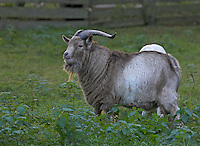 Hausziege, Haus-Ziege, Ziege, Ziegenbock, Bock, Männchen