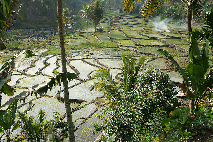 Rice fileds on the way from coastal city Ende to mountain village Moni, island  Flores in archipelago of Indonesia