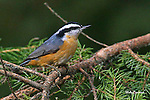 NUTHATCH; red-breasted nuthatch