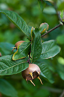A Royal Medlar Quince growing in an Oxfordshire orchard.