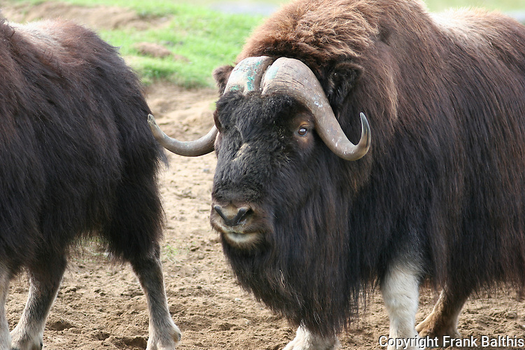 musk oxen in Quebec