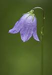 Mountain Harebell Bellflower wildflower