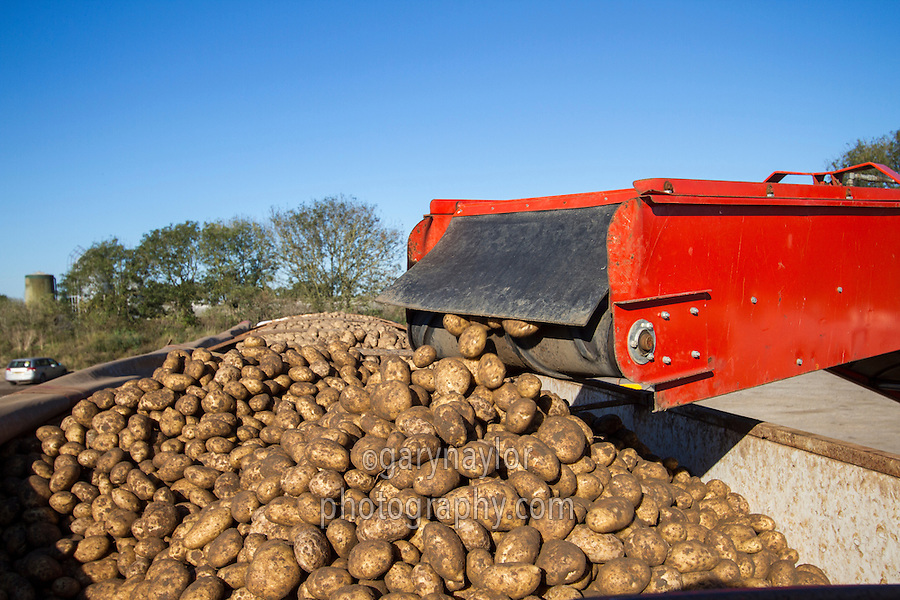 Loading bulk processing potatoes into a lorry bulker - October, Norfolk