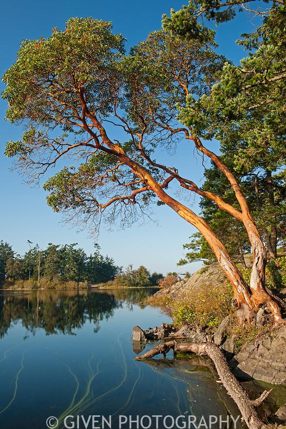 Pacific Madrona at Cranberry Lake, Washington