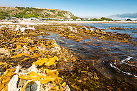 Bull kelp seaweed on rocky shores in Kaikoura with Seaward Kaikouras mountains in background, Marlborough Region, South Island, East Coast, New Zealand
