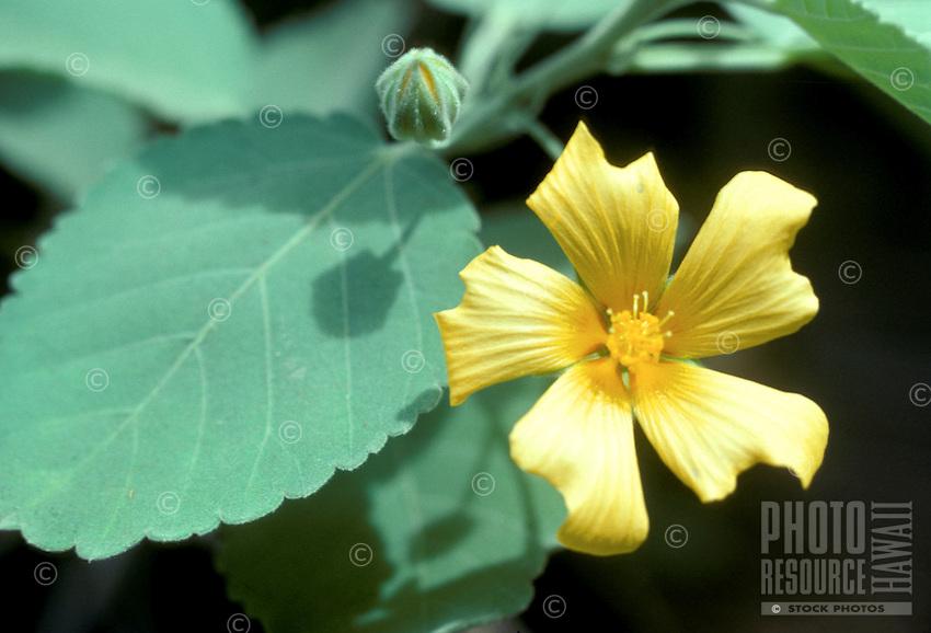 Ilima (Sida sp.) lei plant