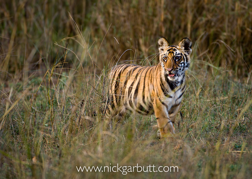Bengal Tiger cubs (Panthera tigris tigris) - around 3.5 months old - walking through long grass. Bandhavgarh National Park, Madhya Pradesh, India.