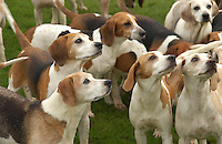 Beagles, dogs, hunting.