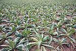 Field of cauliflowers
