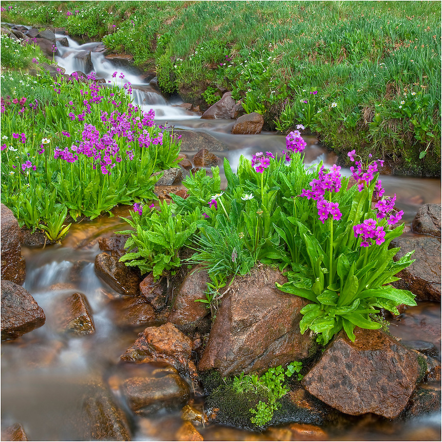 Flowing down from Colorado's high country melting snows, the waters of First Creek are cold but nourishing to the wildflowers that line its banks. Images such as these are plentiful in July. You might have to get your feet wet occasionally, but sometimes it is worth the effort.