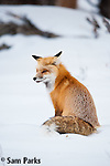 Red fox in winter. Yellowstone National Park, Wyoming.