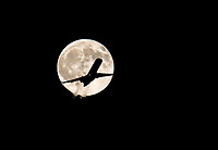 Aug 7, 2017; Phoenix, Arizona, USA;  American Airlines Eagle flight #3053 CRJ-700 on its way to Flagstaff is silhouetted as it flies through the full moon after taking off from Phoenix Sky Harbor International Airport. Mandatory Credit: Mark J. Rebilas