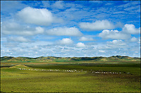 A long line of white sheep dotted across a vast high plateau grassland.