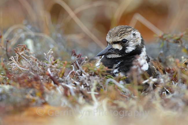 Adult female Ruddy Turnstone (Arenaria interpres) in breeding plumage incubating a nest. The Yukon Delta has some of the highest shorebird breeding densities known anywhere. Yukon Delta National Wildlife Refuge. Alaska. June.