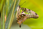 Tailed Jay butterfly ( Graphium agamemnoa agamemnoa)
