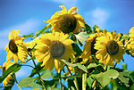 A close, wide angle shot of large, yellow sunflowers and rich green leaves in bright summer sun against a bright blue sky.
