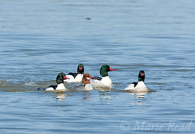Common Merganser (Mergus merganser), breeding plumage, Ithaca, New York, USA