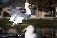A Great egret stretches it wings at a neighborhood park near San Francisco Bay's eastern shore.