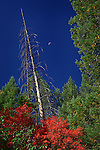 Maples, Pines, and Half Moon, West Fork of Oak Creek Canyon