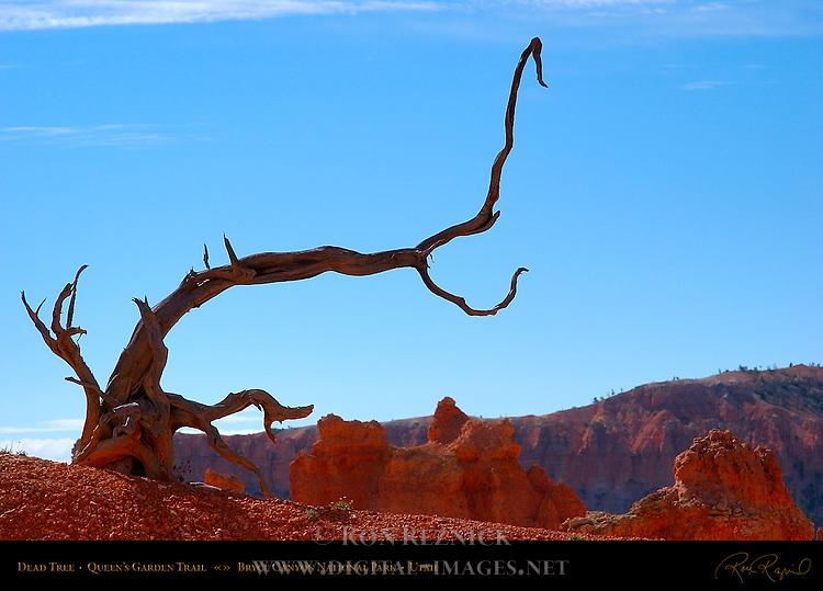 Dead Limber Pine Tree, Queen's Garden Trail, Bryce Canyon National Park, Utah