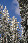 Fresh fallen snow on trees in winter, Dorrington, Calaveras County, California