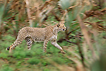 Cheetahs are the fastest animals on land with a sprint speed of up to 96kmph. Females are solitary except when raising cubs while males are more gregarious.