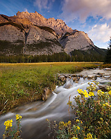 Mount Cascade in Banff as the rising sun gently kisses the summit. Stream in the foreground with yellow wildflowers 8x10