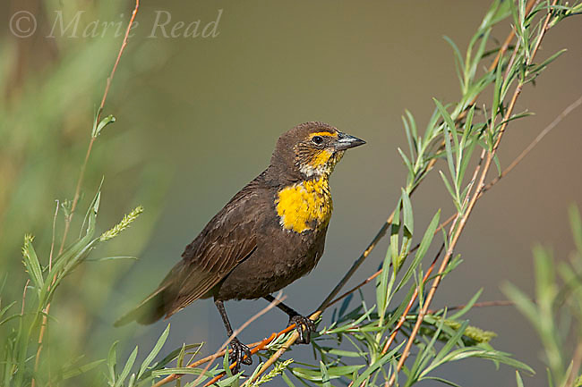 Yellow-headed Blackbird (Xanthocephalus xanthocephalus) female perched in willow, Mono Lake Basin, California, USA