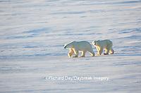 01874-14308 Polar Bears (Ursus maritimus)  in Cape Churchill Wapusk National Park,  Churchill, MB Canada
