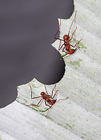 Leaf-cutter ants bite off pieces of leaves, cutting in a circular pattern before hauling the pieces back to the colony.