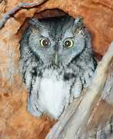 Eastern Screech-Owl (Otus asio) roosting in a tree in early morning