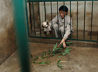 The smallest panda to survive known as Wu Shi Er Ke (which means 51 grams in Chinese) at one month and 20 days old is returned to it's cage and it's mother. The panda was born at the Chengdu Giant Panda Breeding and Research Institute in Sichuan Province, China.   The Institute had a record of ten surviving births this year. Wu Shi Er Ke was born on 6th of August as a twin. Her sister weighted over double her weight and her mother called Qi Zheng was herself the first panda baby to survive an operation. (She had 7 stitches in her stomach after her mother rejected and attacked her just after birth 7 years ago)..26 Sep 2006